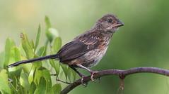 Eastern Towhee (juvenile)- Aripeka Sandhills Preserve
