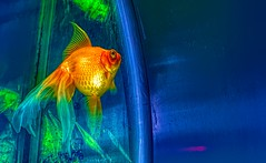 Neon and Goldfish
