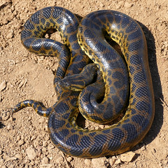 Yellow Anaconda (Eunectes notaeus)
