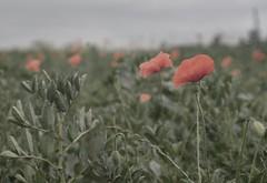 poppies #1