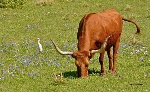 Texas longhorn and bluebonnets