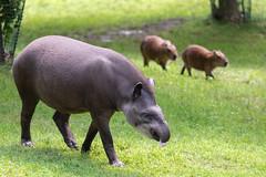 Tapir and Capybaras