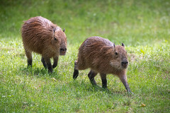 Capybaras Running