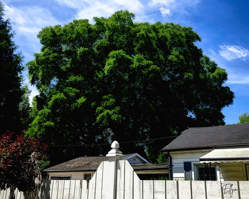 the black walnut tree