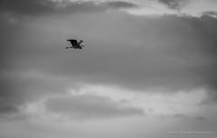 Goth Birds