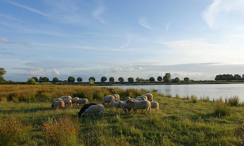 Schapen / Sheep