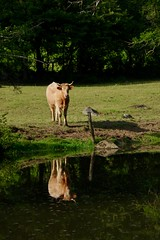 Cow reflected in the River Sarthe