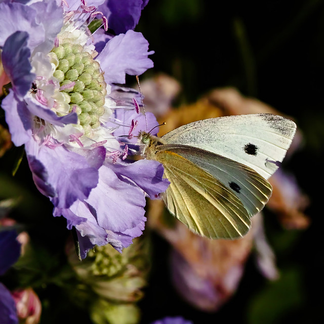 Small White on a Scabious