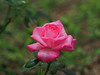 Photo:Pink rose By Greg Peterson in Japan