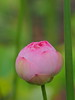 Photo:Small lotus flower By Greg Peterson in Japan