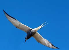 The flying Arctic tern...
