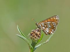 Steppeparelmoervlinder