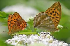 Braamparelmoervlinder en keizersmantel