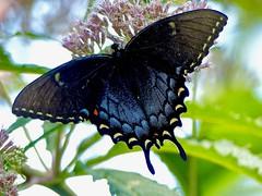Dark Morph Swallowtail