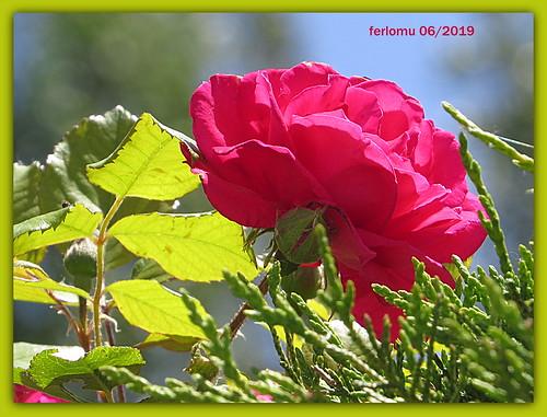Almazán (Soria) 26 rosa
