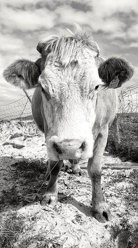 Killer Cow...