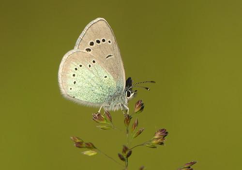 Green-underside Blue (Glaucopsyche alexis)