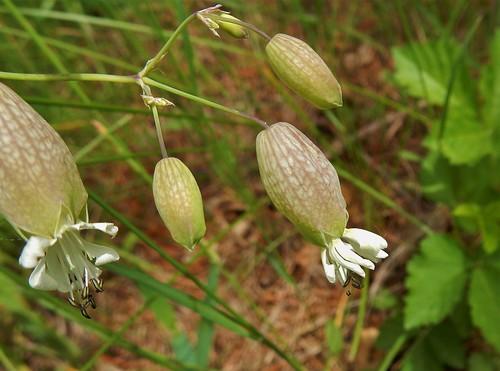 Bladder Campion (Silene vulgaris)