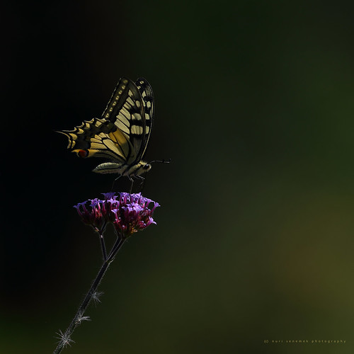 papilio machaon /swallowtail