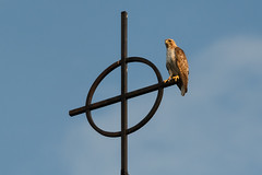 Red tailed hawk on the steeple