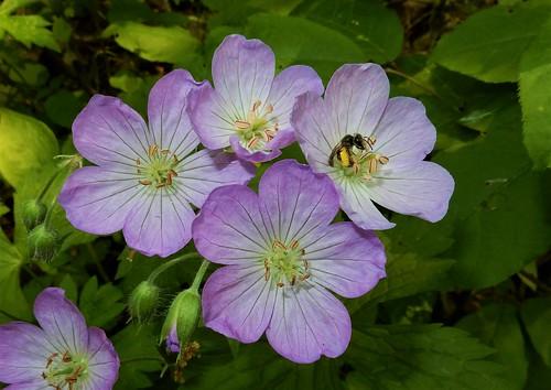 Wild Geranium (Geranium maculatum) with pollinator