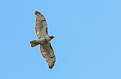 Juvenile red tailed hawk soaring