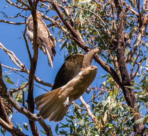 Whistling Kite Takes Off