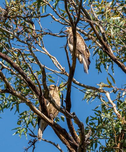 Whistling Kite pair