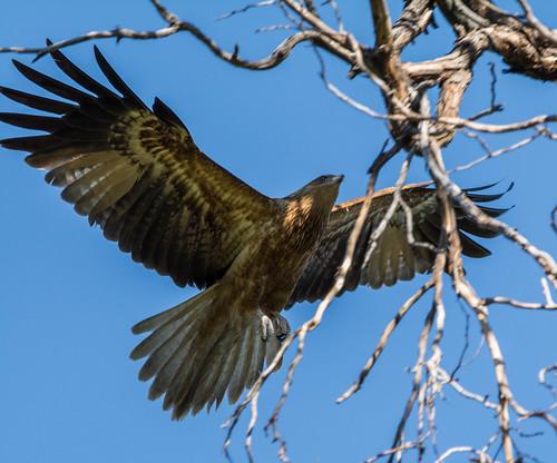 Whistling Kite landing