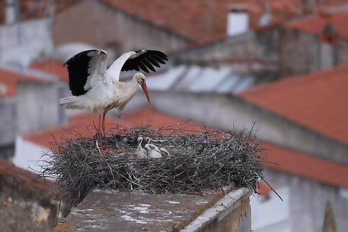Cegonha Branca ( Ciconia ciconia )