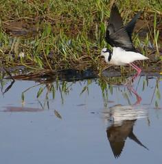 White-backed Stilt (Himantopus melanurus) taking off ...