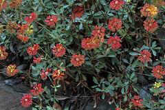 J20160707-0139—Eriogonum umbellatum var bahiiforme—RPBG—DxO