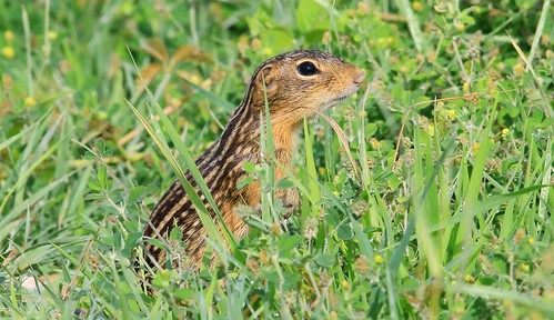 thirteen-lined ground squirrel near Vernon Springs IA 653A3414