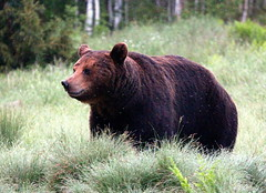 The wild brown-bear