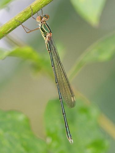 Chalcolestes viridis, Haselbach-0449