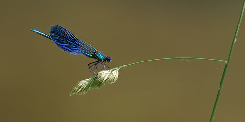 Calopteryx splendens, Germany-0477