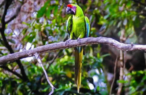 French Polynesia - Parrot