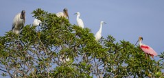Woodstorks, Snowy Egrets and Roseate Spoonbill ...