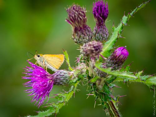 Butterfly...Dwerg dikkopje Thymelicus acteon-7180011