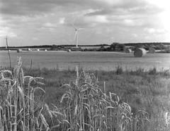 Getreide an Windmühle