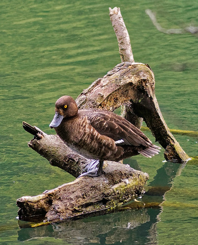 Aythya fuligula - fuligule morillon - kuifeend - tufted duck - Reiherente