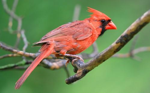 northern cardinal male at Lake Meyer Park IA 653A4278