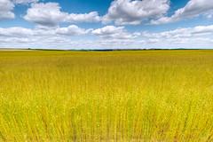 Flax field
