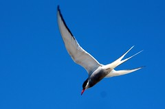 The diving artic tern.