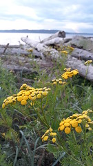 Wild yellow flowers top off in mid-July, driftwood, south Puget Sound, Des Moines, Washington, USA