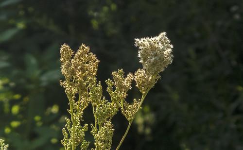 White Walchsee flowers