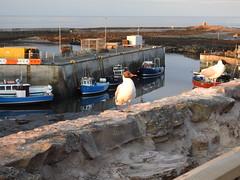 Black-Headed Gull DSCN1366