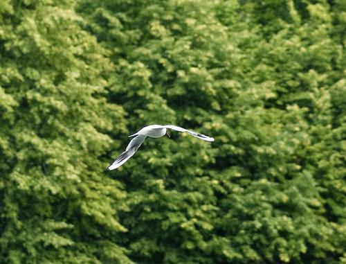 Larus ridibundus Linnaeus, - mouette rieuse - kokmeeuw - black-headed gull