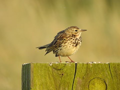 Meadow Pipit in the evening sunshine  DSCN1354