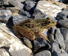 Southern Leopard Frog At South Tract
